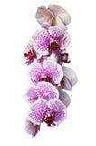 Phalaenopsis som isoleras på vit bakgrund med Arkivfoton