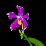 Phalaenopsis species (Phalaenopsis pulchra) Stock Photo