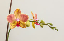Phalaenopsis with stick 1 Stock Photo