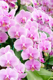 Phalaenopsis storczykowy kwiat Obraz Stock