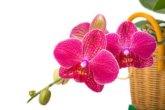 Phalaenopsis storczykowy kwiat w koszykowym zbliżeniu obraz royalty free
