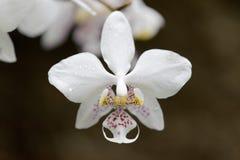 Phalaenopsis stuartiana Stock Photography