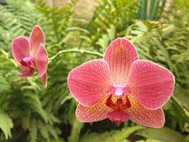 Phalaenopsis tropical da orquídea imagem de stock