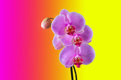 Phalaenopsis - Tropical Orchid against colour Background Stock Image