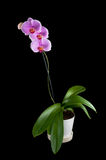 Phalaenopsis - tropische Orchidee gegen schwarzes Backg stockfoto