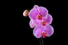 Phalaenopsis - tropische Orchidee gegen schwarzes BG. stockfotografie