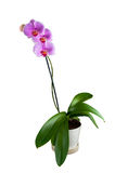 Phalaenopsis - tropische Orchidee gegen Weiß lizenzfreies stockbild