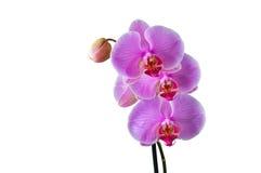 Phalaenopsis - tropische Orchidee gegen weißes BG stockbild