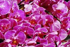 Phalaenopsis. Under the sun and more color on flowers stock photos