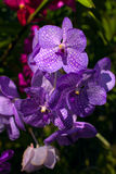 Phalaenopsis van de orchidee Royalty-vrije Stock Fotografie