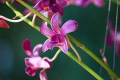 Phalaenopsis van de orchidee stock foto's
