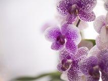 Phalaenopsis van de orchidee Royalty-vrije Stock Foto