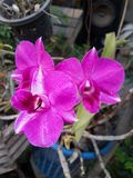 Phalaenopsis van de orchidee Royalty-vrije Stock Foto's