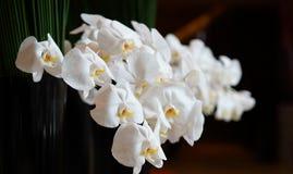 Phalaenopsis van de orchidee Stock Afbeelding
