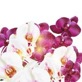 Phalaenopsis vector realistic orchids isolated on white Stock Image