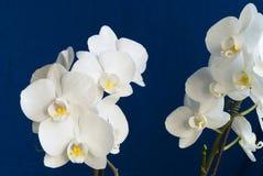 Phalaenopsis Stock Images