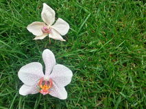 Phalaenopsis Royalty Free Stock Photography