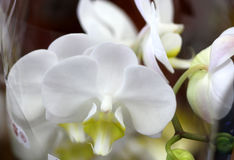 Phalaenopsis White with green lip royalty free stock images