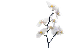Phalaenopsis - White orchid Royalty Free Stock Photography