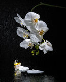 Phalaenopsis. White orchid Stock Images