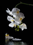 Phalaenopsis. White orchid Royalty Free Stock Photo