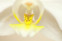 Phalaenopsis. White orchid close up Royalty Free Stock Photos