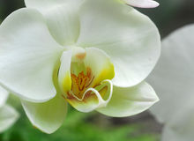 Phalaenopsis white orchid flower Royalty Free Stock Photos