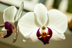 Phalaenopsis. White orchid flower indoor. Royalty Free Stock Image