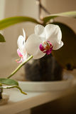Phalaenopsis. White orchid flower indoor. Stock Photos
