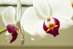 Phalaenopsis. White orchid flower indoor. Royalty Free Stock Images