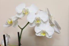 Phalaenopsis. White orchid on wall background Stock Image