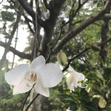Phalaenopsis white orchid with yellow lip. Hanging plants tropical stock photos