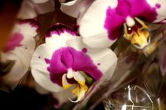 Phalaenopsis white with purple center and yellow lip. Beautiful orchid for pots with large white flowers, purple spots, broad purple center and yellow lip royalty free stock images