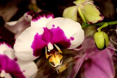 Phalaenopsis white with purple center and yellow lip. Beautiful orchid for pots with large white flowers, purple spots, broad purple center and yellow lip stock images