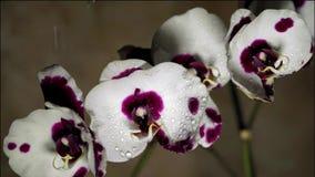 Phalaenopsis stock footage
