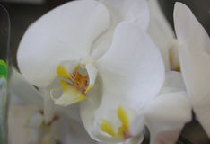 Phalaenopsis White with yellow lip Stock Photos