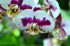 Phalaenopsis Wzrastał Zdjęcie Stock