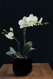 Phalaenopsis Stock Image