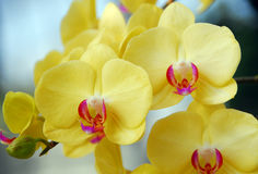 Phalaenopsis yellow pink orchid flower Stock Images