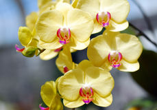 Phalaenopsis yellow pink orchid flower Royalty Free Stock Photos