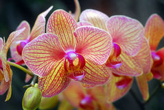 Phalaenopsis yellow red orchid flower Stock Photos