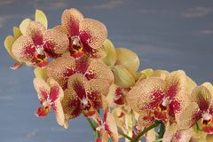 Phalaenopsis yellow and red orchid flowers against blue blurred background. Royalty Free Stock Photo