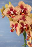 Phalaenopsis yellow and red orchid flowers against blue blurred background. Royalty Free Stock Images