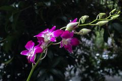 Phalaenopsisaphrodite Rchb f arkivbild