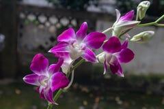 Phalaenopsisaphrodite Rchb f royaltyfri fotografi