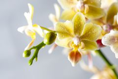 Phalaenopsisbland Härlig varietal sällsynt orkidé royaltyfri bild