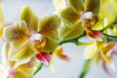 Phalaenopsisbland Härlig varietal sällsynt orkidé royaltyfria bilder