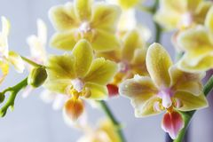Phalaenopsisbland Härlig varietal sällsynt orkidé royaltyfria foton