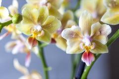 Phalaenopsisbland Härlig varietal sällsynt orkidé arkivfoto