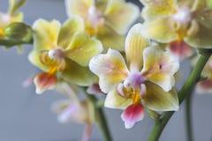 Phalaenopsisbland Härlig varietal sällsynt orkidé fotografering för bildbyråer